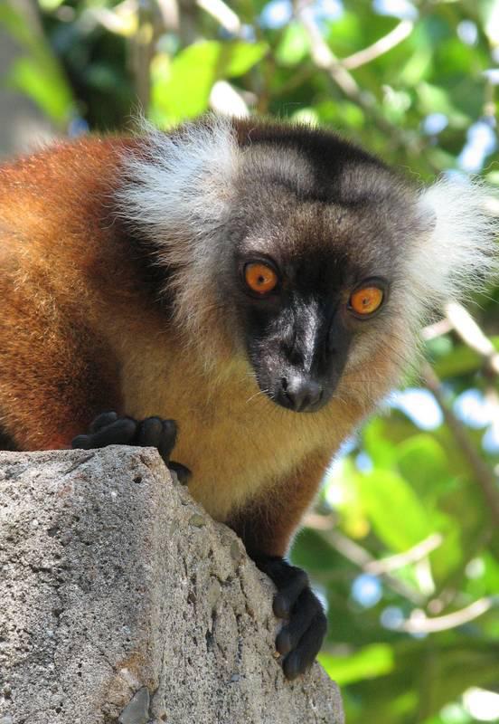 Madagaskar_Lemur_Antsirabe