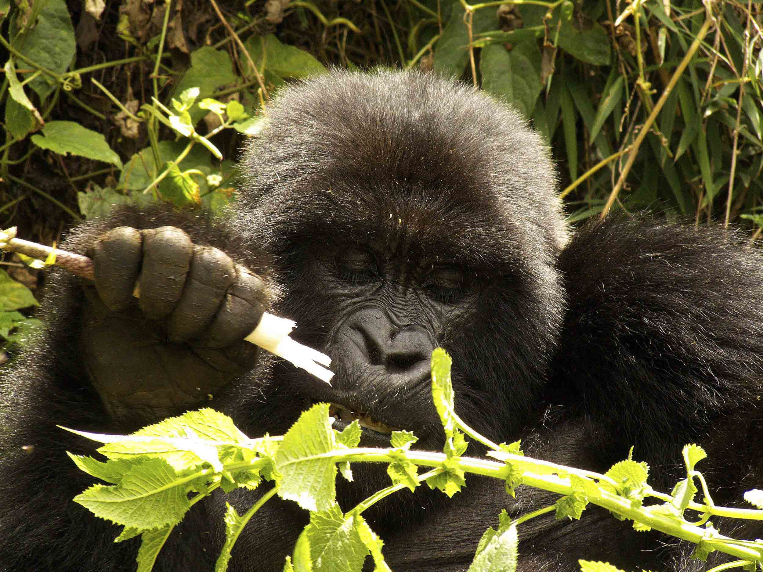 Gorilla_Volcans_NP.jpg